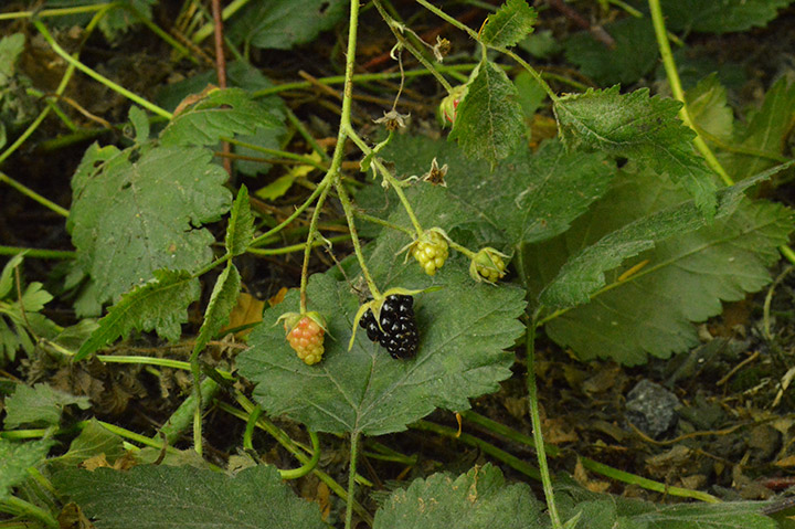 A couple sightings of trailing blackberry along the Stanley Park forest trails in late July.