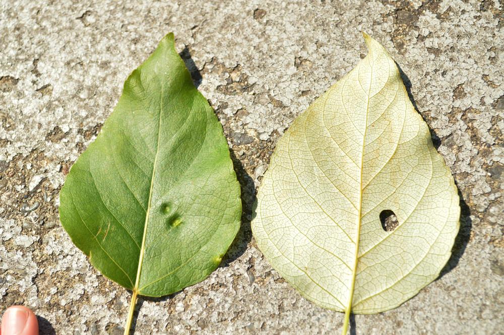 Tree Id Red Alder Trees Vs Black Cottonwood Trees The Stanley