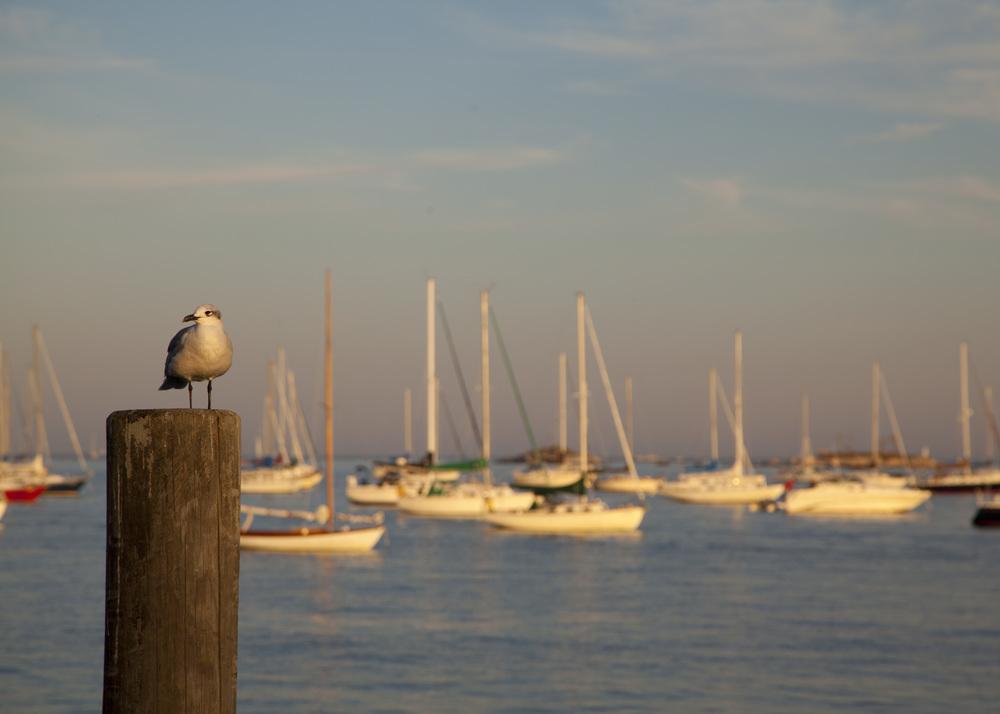 Killer seagull.