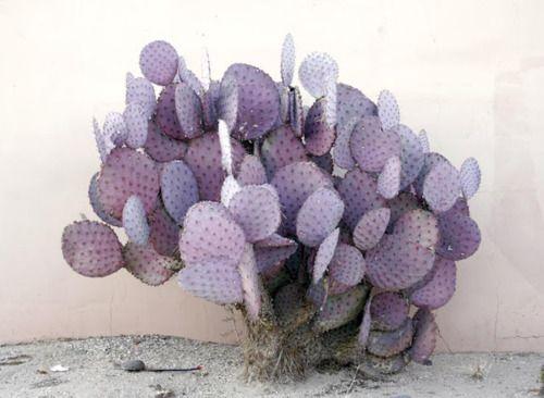 pamelalovenyc :     Cacti
