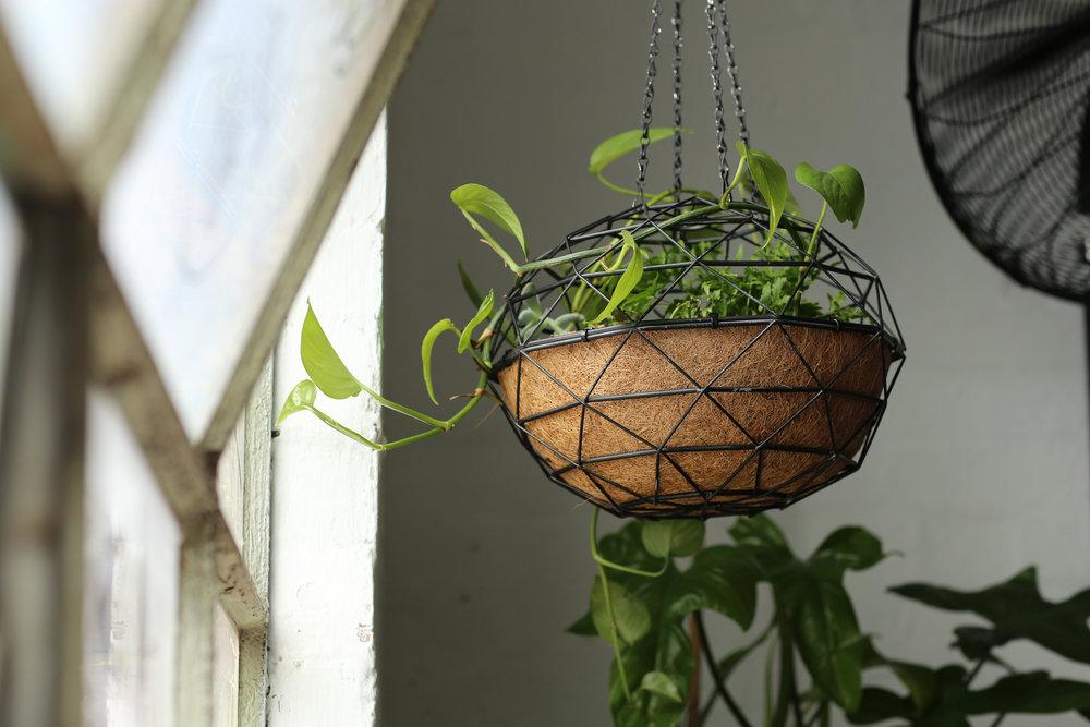 Devils Ivy Hanger -Made by AKAS landscape architecture @akas_la