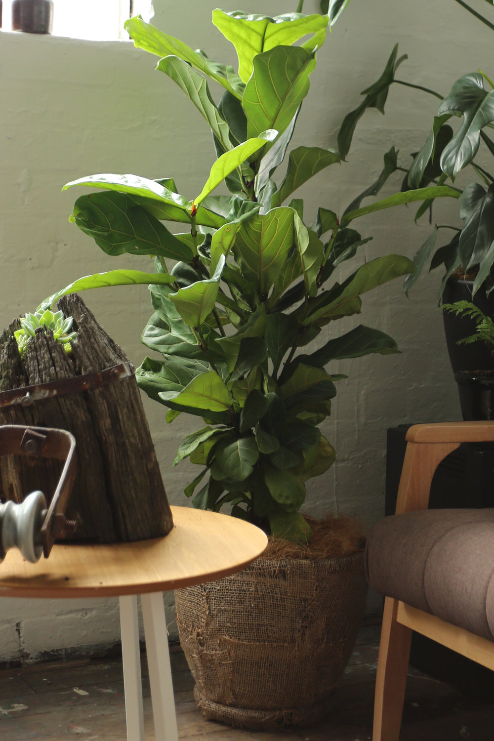 Fiddle Leaf Fig in Hessian Planter - Handmade by AKAS landscape architecture @akas_la