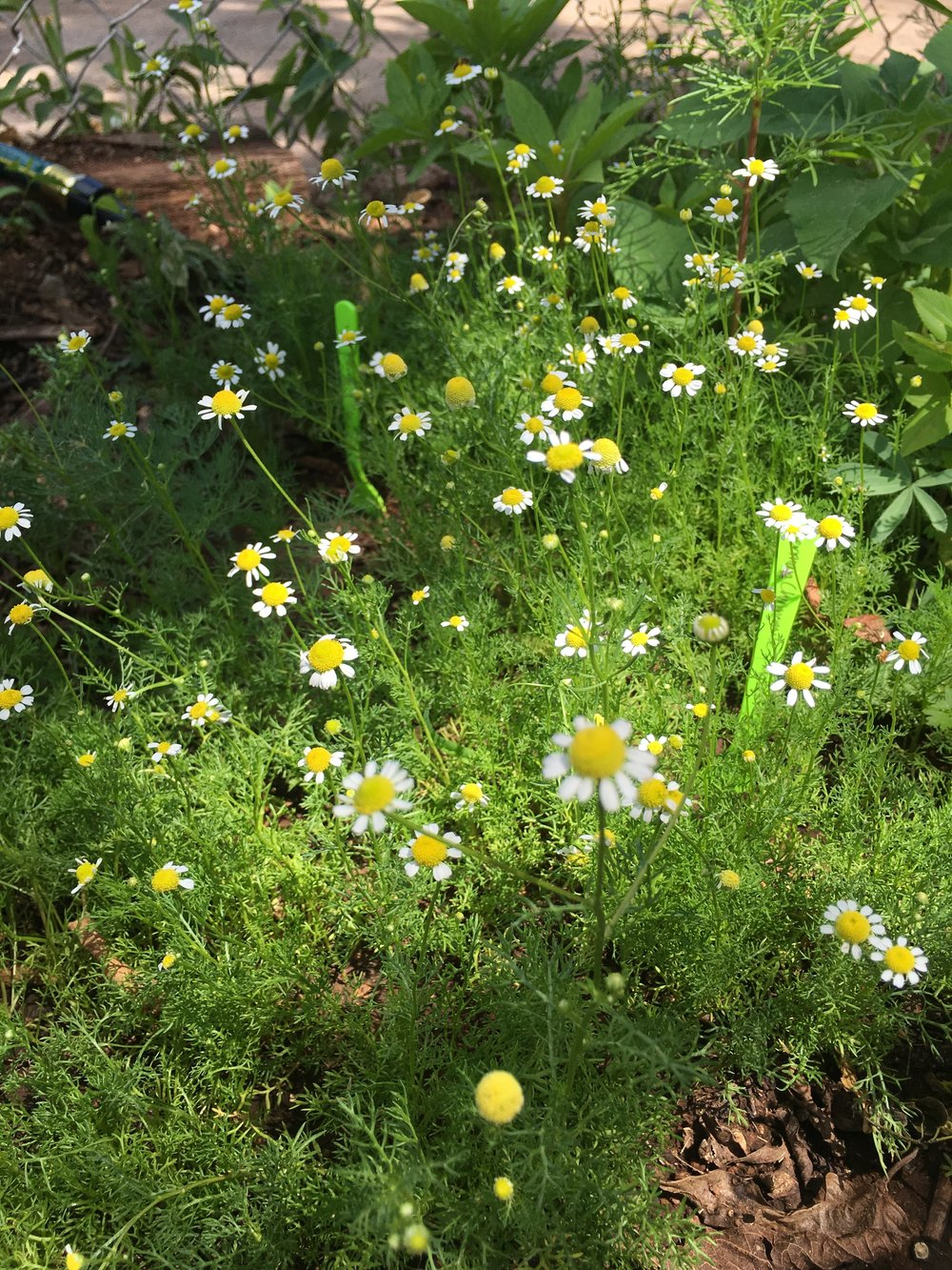My chamomile garden! I made tea, tinctures and glycerites from this amazing crop of herbs.
