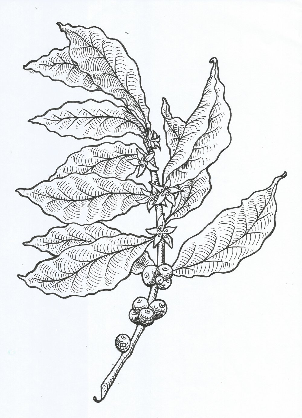 Coffee Branch