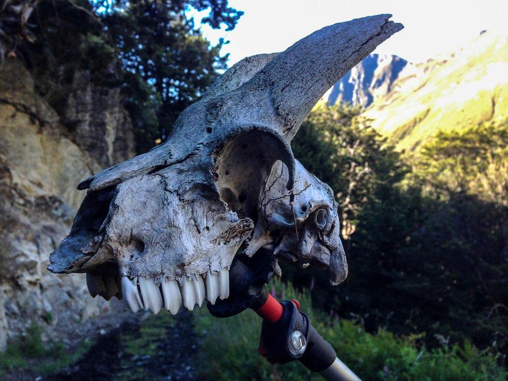 glenorchy_heather_jock_hut_goat_skull.jpg