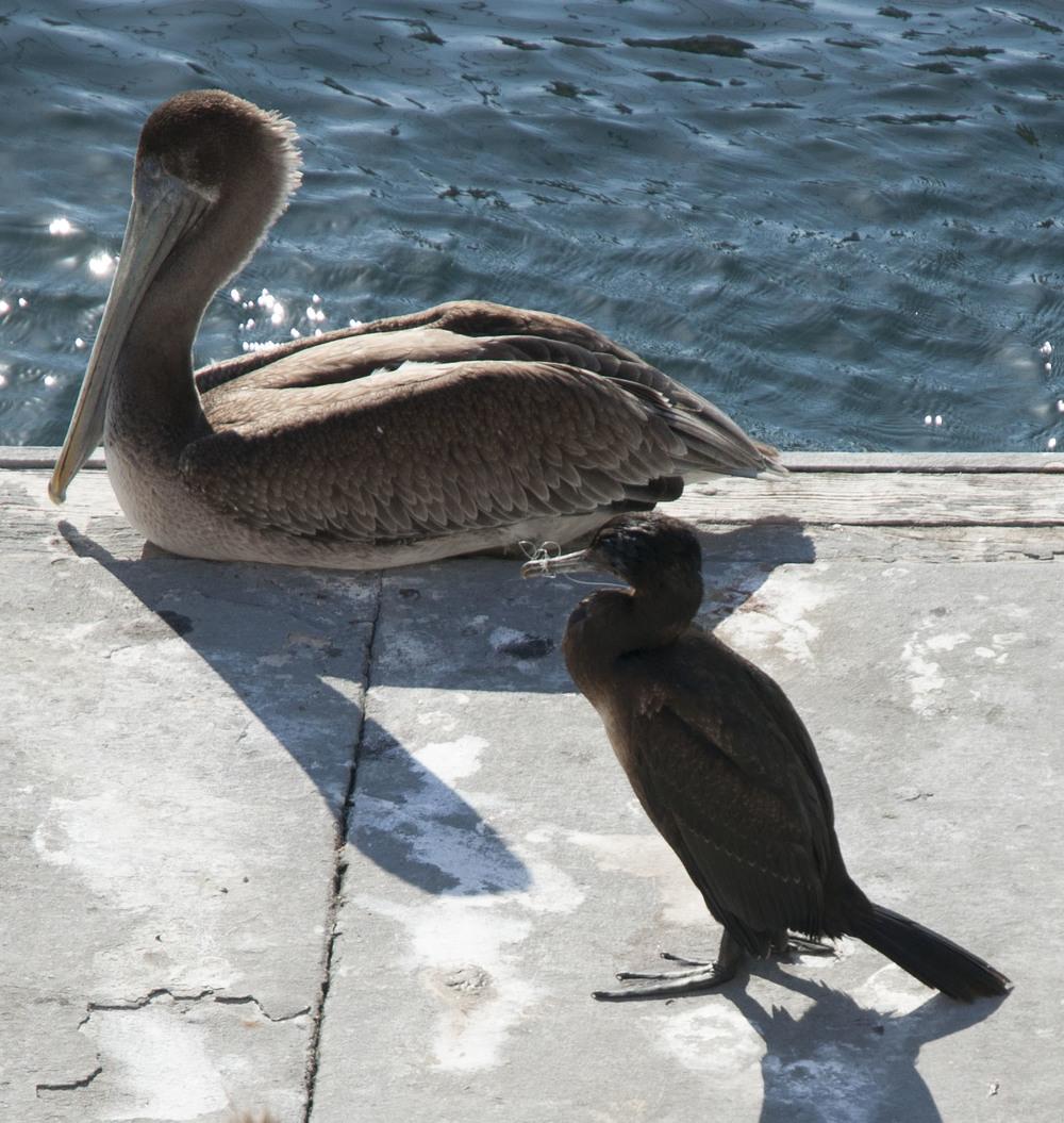 Bird that has it's beak tangled shut in Marina Del Rey