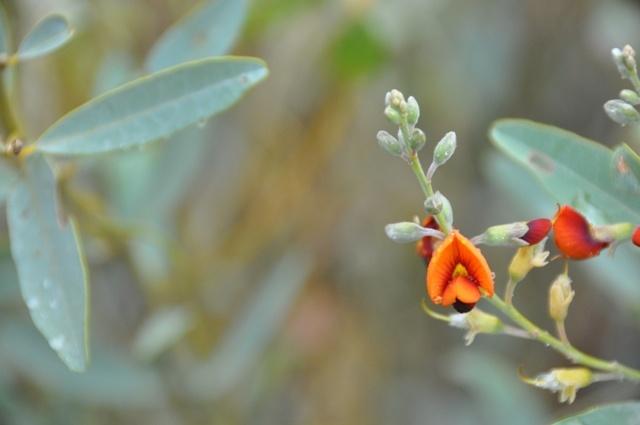 Central Australian wildflowers