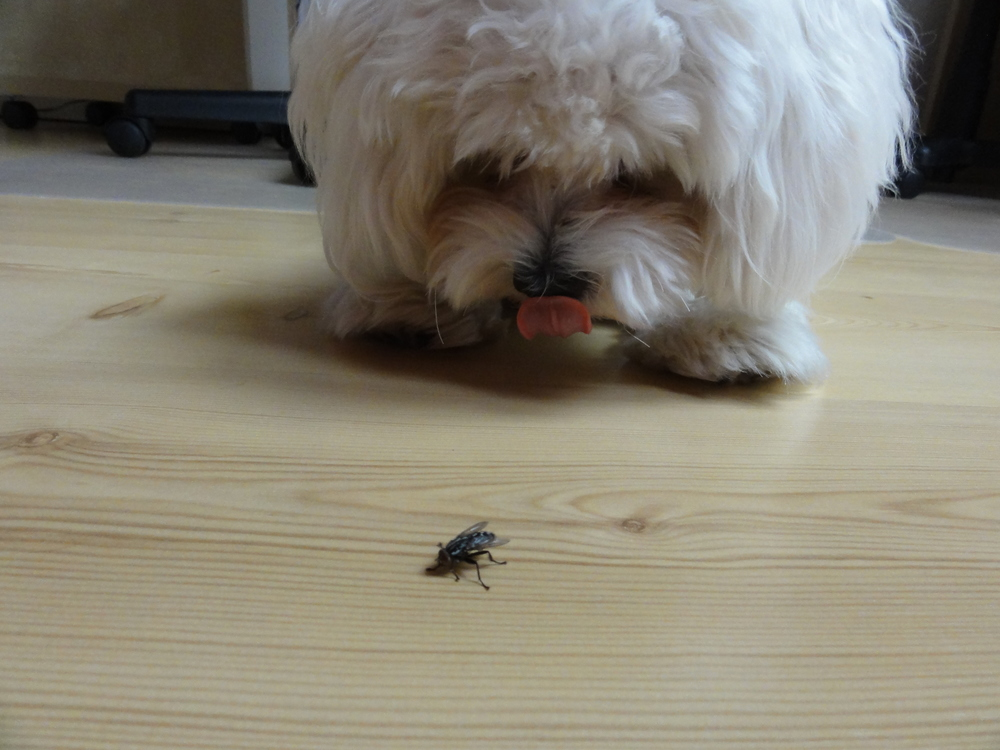 When he find a beetle or a fly on the ground, he becomes a little tyrant. He suck the beetle, then spits, pushes with his nose on the floor and when is the beetle sucked enough Bernard will eat him