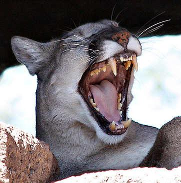 lion_nap