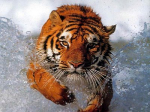 tiger_chasing
