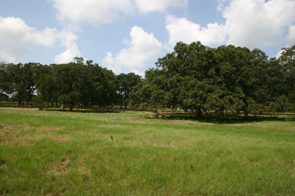 oak tress.jpg