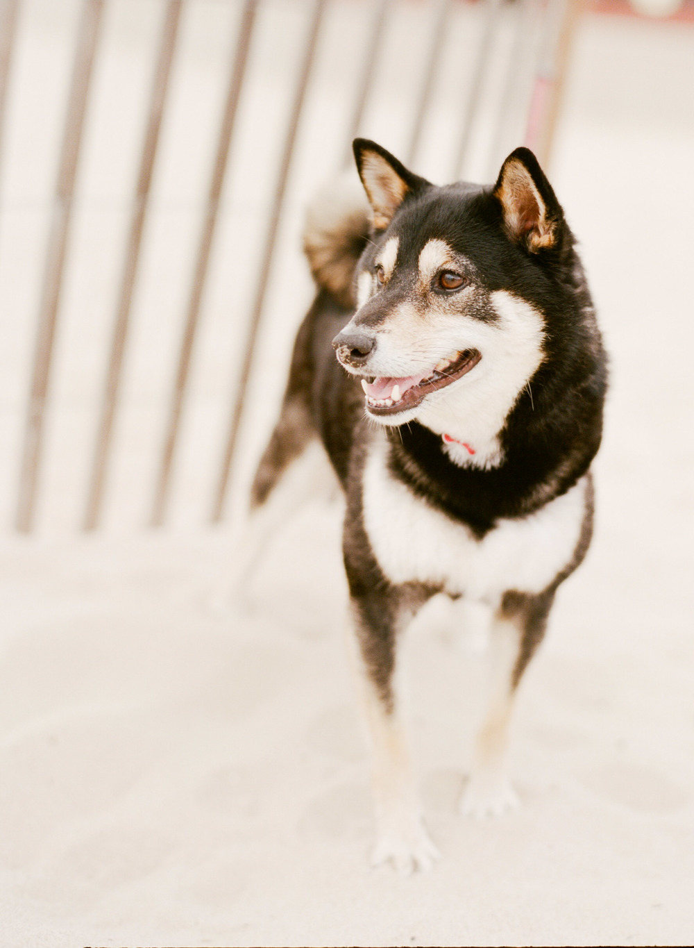 Couple's cute dog on Hermosa Beach during engagement shoot with Sylvie Gil.