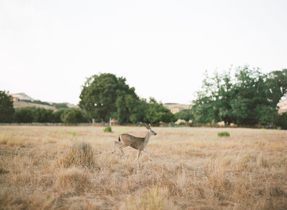 A deer runs through a grassy field in the Santa Lucia Preserve; Sylvie Gil Photography