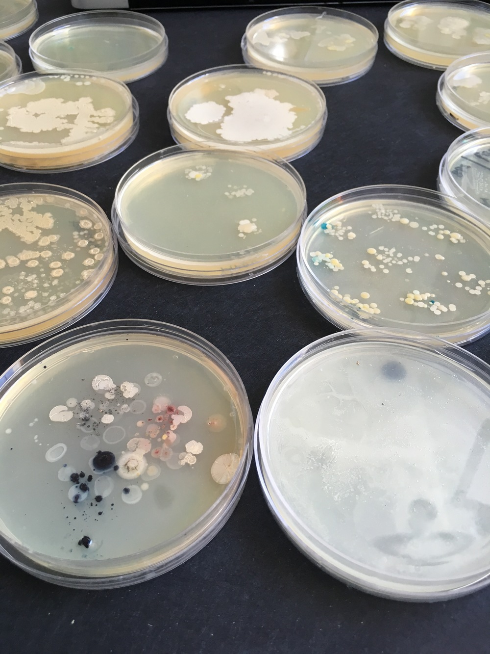 Plated identities: Human bacteria and the paintbrush