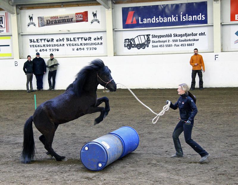 Íslenski hesturinn er kjarkaður og forvitinn og hægt að krydda hina hefðbundnu þjálfun með ýmsum hætti