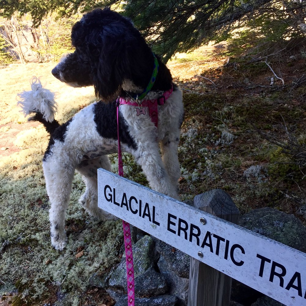 Sweet Fern poses by the sign for the Glacial Erratic Trail on a walk at Settlement Quarry.