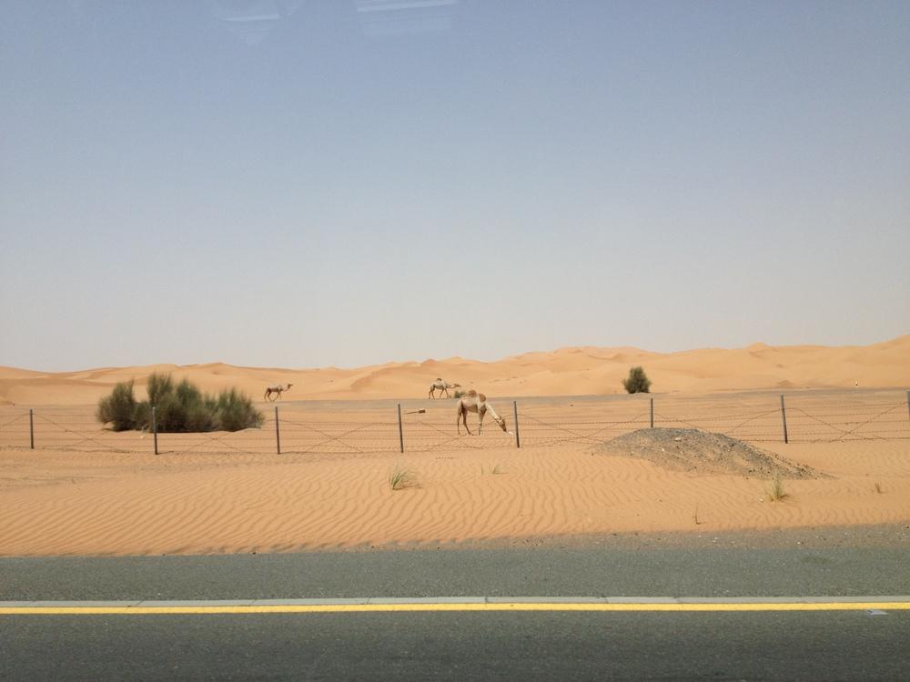 Camel sighting!
