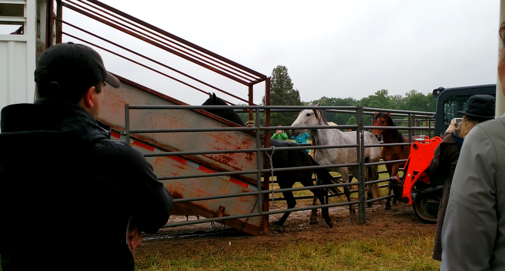 The final roundup of the unadopted horses, packed back into their trailer to be taken to the BLM's holding pasture.