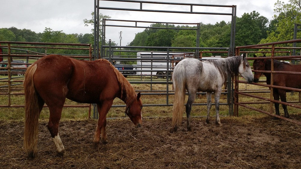 A couple of the horses in the corral before they were rounded up. There were probably somewhere around 15 horses in all when we were there.