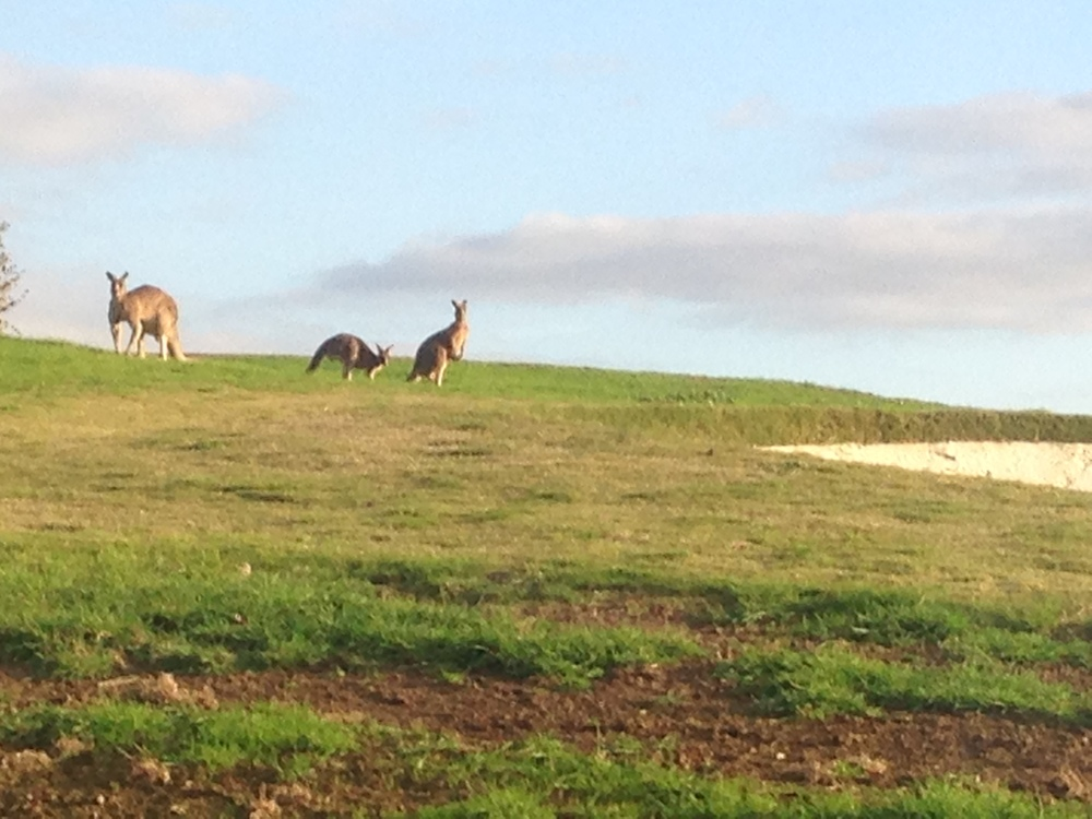 We saw kangaroos on the golf course! They were just playing a few holes, though, and didn't want to be bothered.