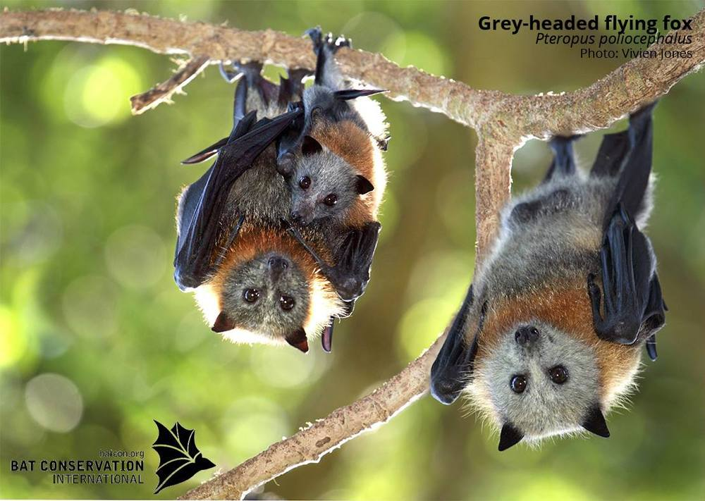 © Bat Conservation International