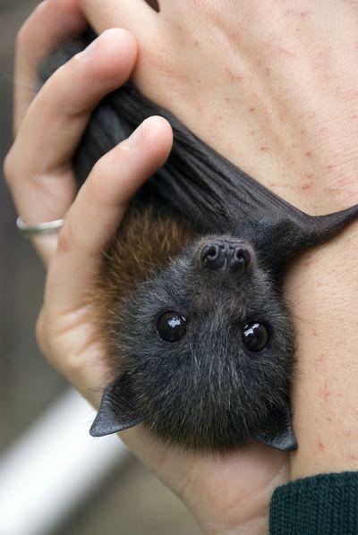 Baby Bat https://s-media-cache-ak0.pinimg.com/564x/b3/21/49/b32149e9c2658b46c27f854436ea0564.jpg
