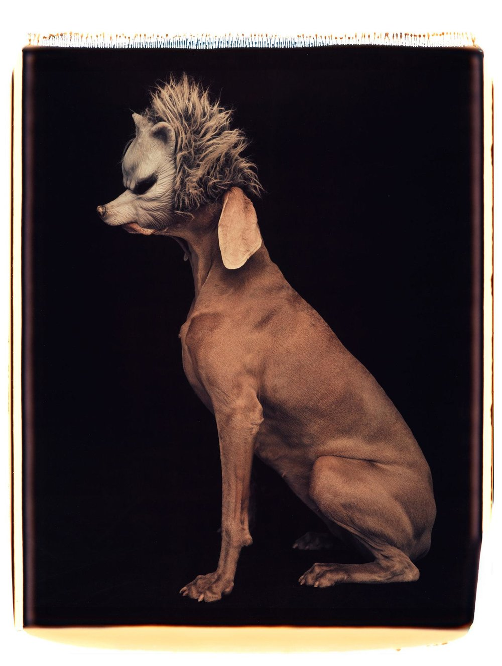 Wolf (Lobo), 1994, William Wegman