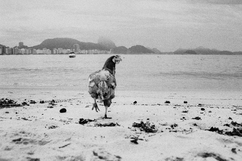 galinha-praia-copacabana-kittyparanagua.jpg