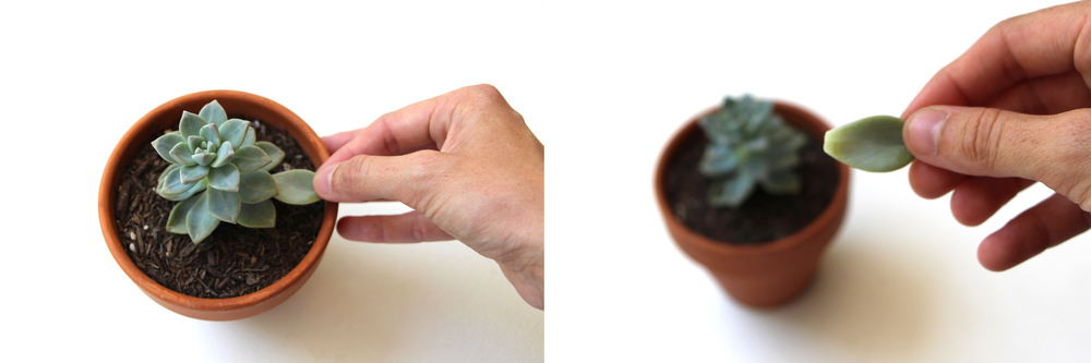 Removing succulent leaves: Propagating Succulents via Needles + Leaves. Learnhow to propagate succulents from leaves and cuttings.