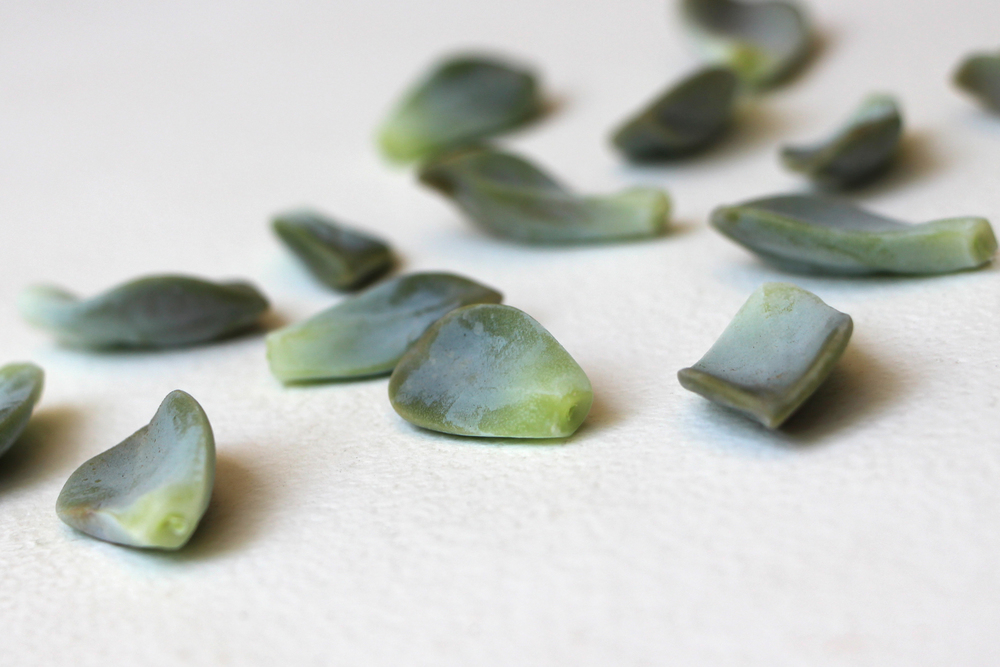 Succulent Leaves: Propagating Succulents via Needles + Leaves. Learn how to propagate succulents from leaves and cuttings.