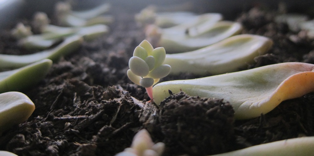 Propagating Succulents: Learn how to propagate succulents from leaves and cuttings.