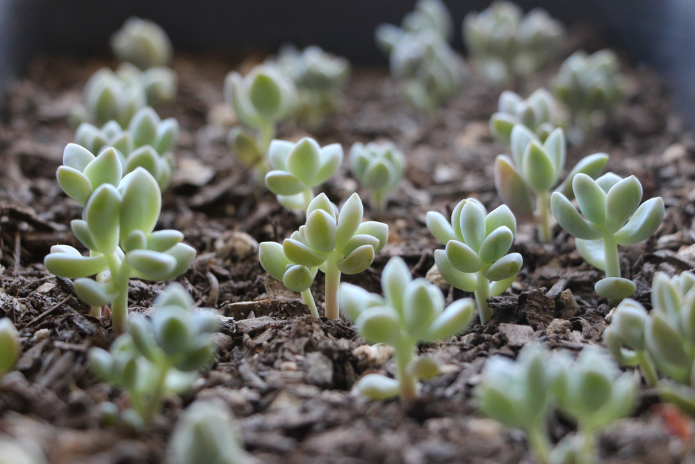 Baby Succulents: Propagating Succulent via Needles + Leaves. Learn how to propagate succulents from leaves and cuttings.