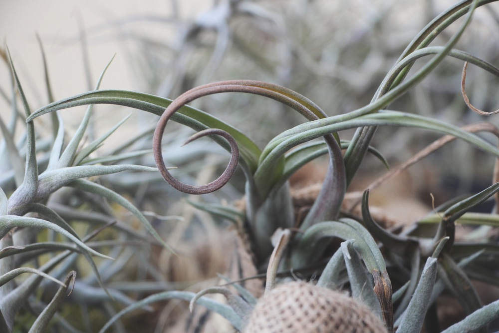Air Plants at the Succulent Cafe Oceanside via Needles + Leaves