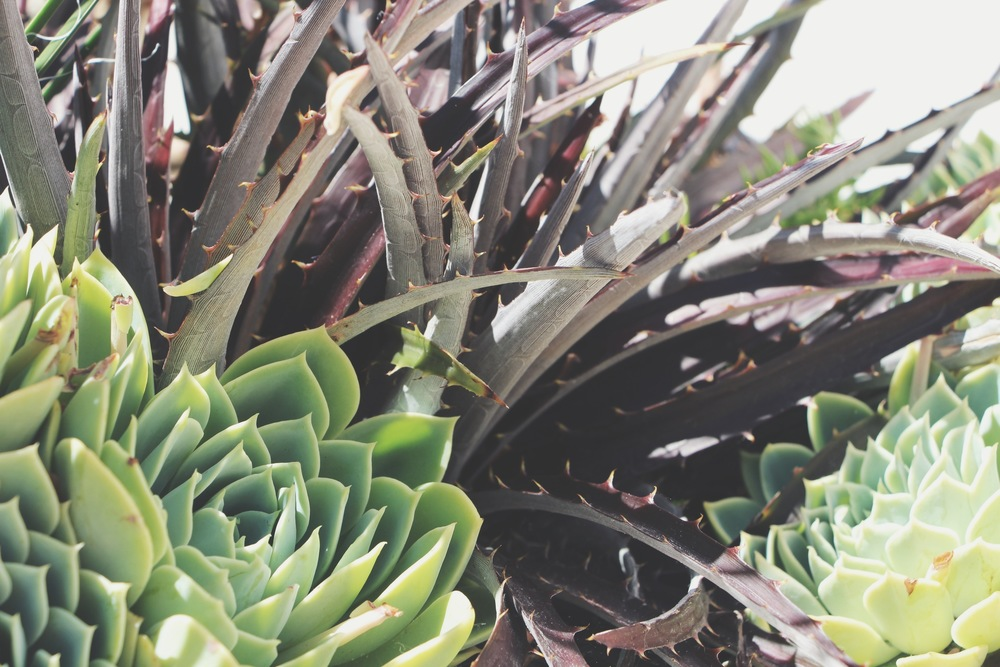 Succulents at the Hotel Del Coronado in San Diego via Needles + Leaves