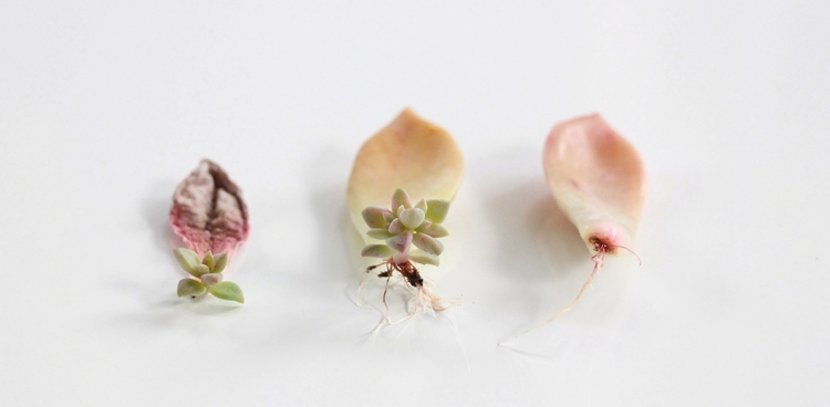 How to propagate succulents from leaves and cuttings needlesandleaves net