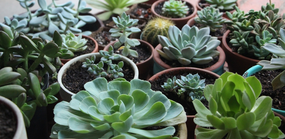how-to-grow-succulents-indoors-in-artificial-grow-lights-needlesandleaves_net.jpg