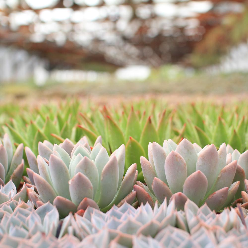 Rancho Vista Nursery: Quality Cactus & Succulents