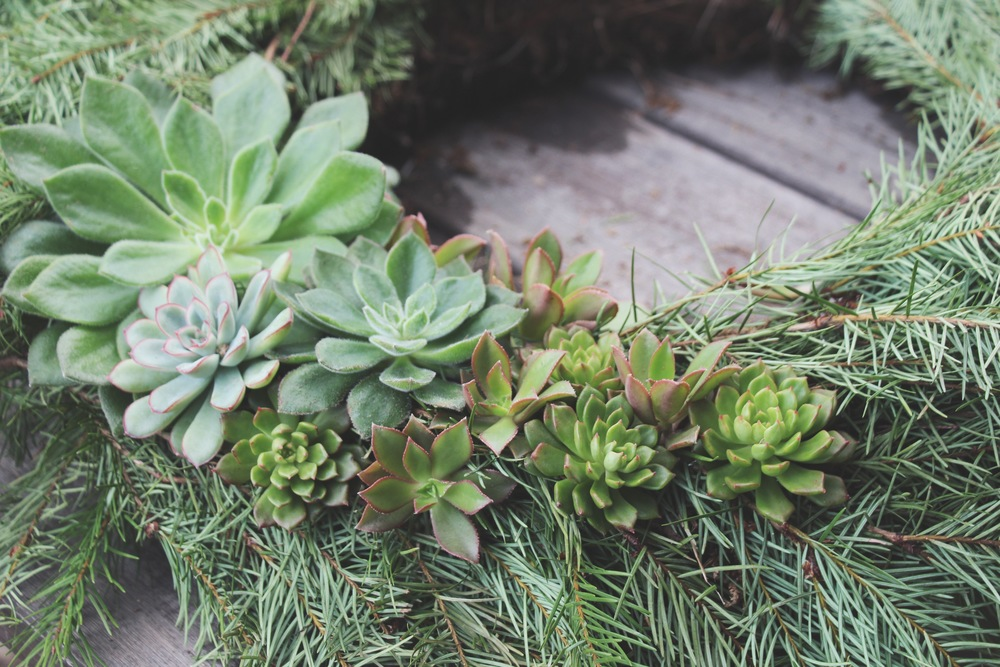 DIY Living Christmas Wreath with Succulents via Needles + Leaves