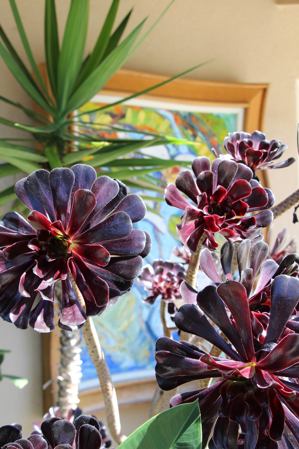 Gorgeous Aeonium 'Zwartkop' plants basking in the California sun.