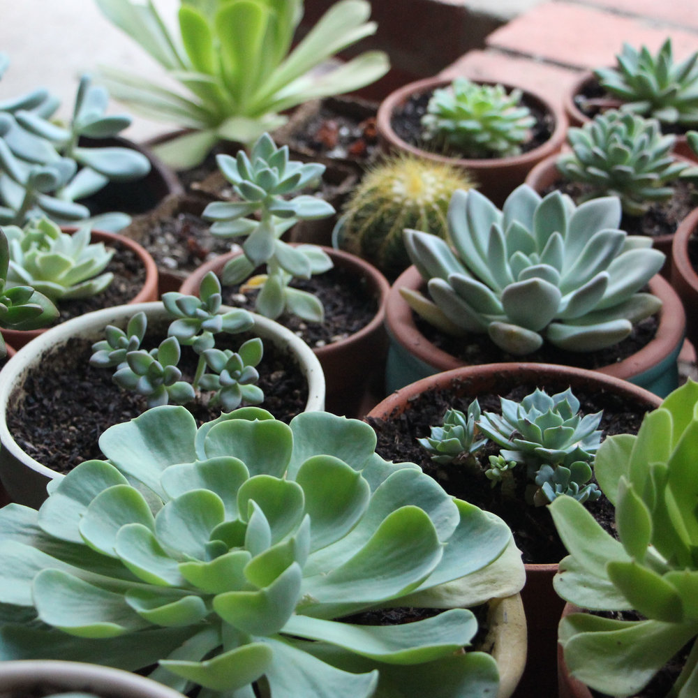 How to grow succulents in artificial light needles leaves - Best indoor succulents ...