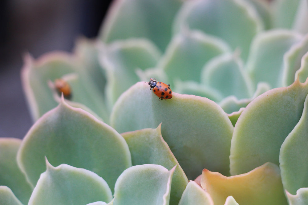 ladybugs-succulents.jpg
