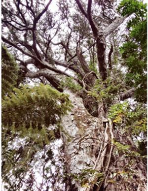 Giant rimu in Howden's Bush