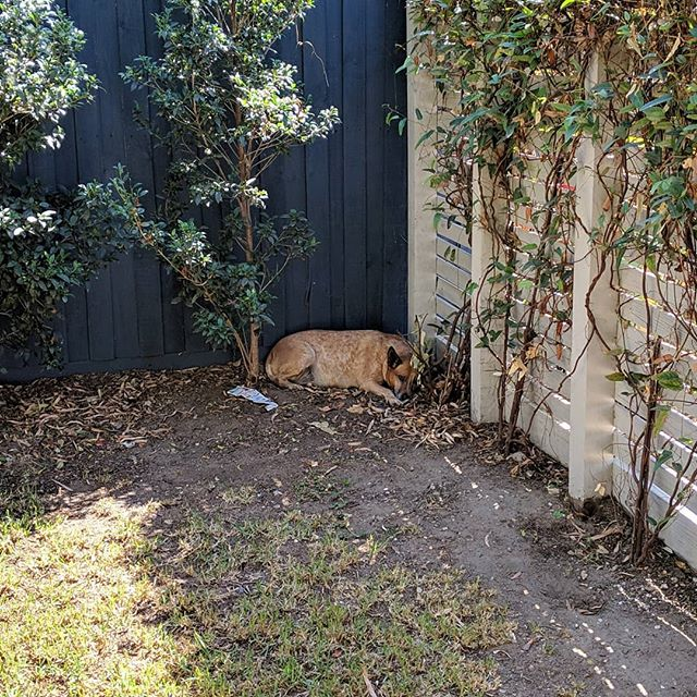 Snoozing in her favourite spot while @nadianiaz and I hang out the laundry on a warm day in #Melbourne. #redheeler #australiancattledog