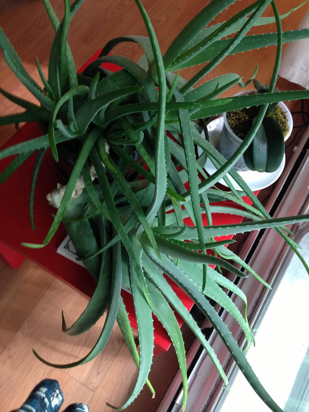 The Aloe Vera
