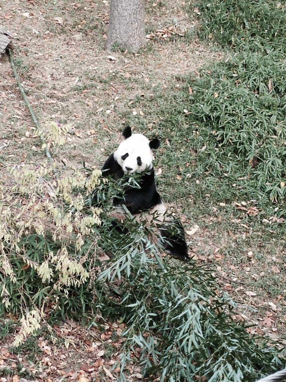 A real life Panda!
