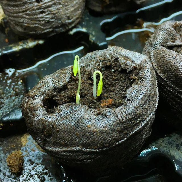 Let the great tomato race begin! #tomatoplant #seedling #fromseed #gardening #romatomatoes