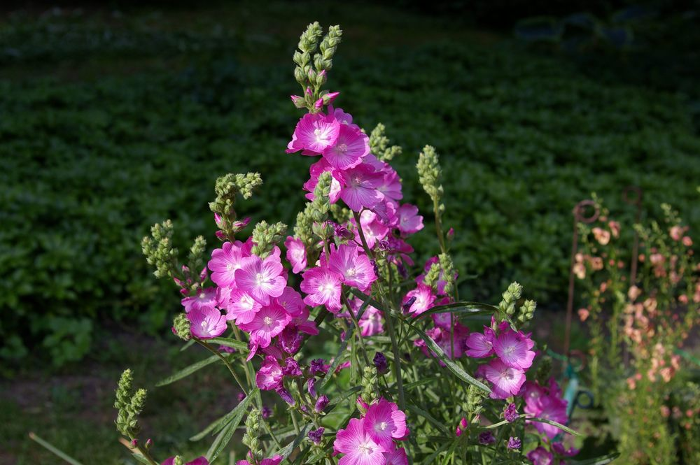 Sidalcea  (miniature holly hock)