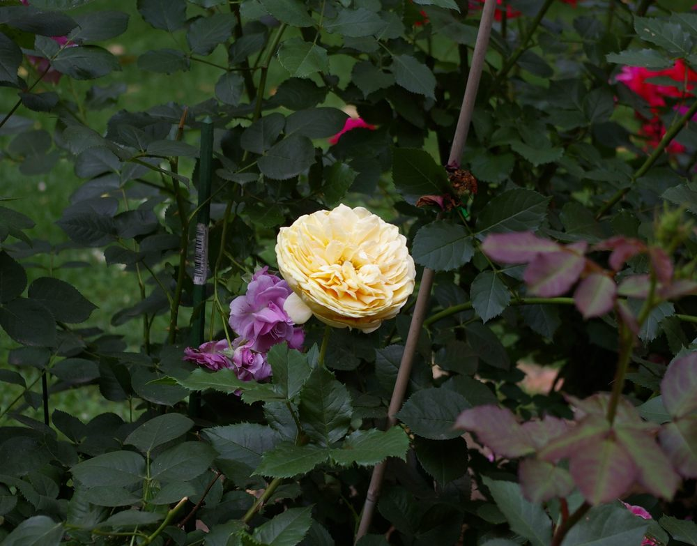 Another view of cream rose