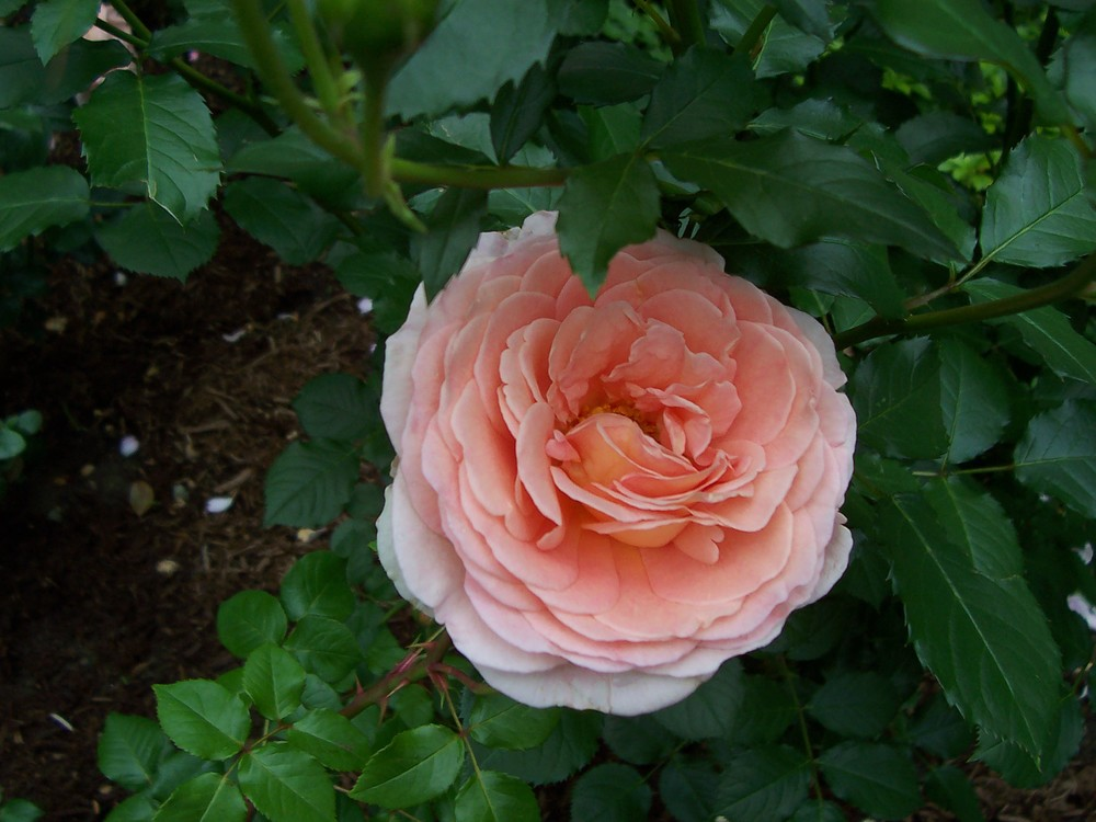 David Austin Abraham Darby rose