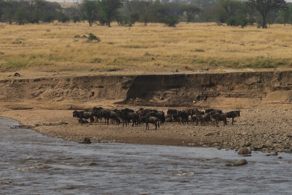 The little group of wildebeest that would not cross the river.